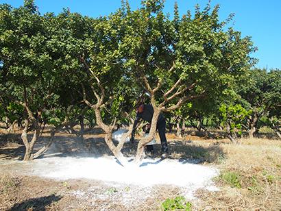 落ちてくる樹脂を受けるためにマスティハの木の下に白い陶土をまく