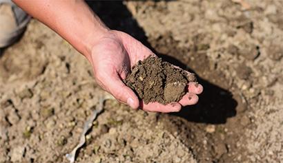 大きめで丸く太ったたまねぎが多いのは、土の状態が良い証拠。化学肥料に頼らずとも立派な農産物が穫れる。