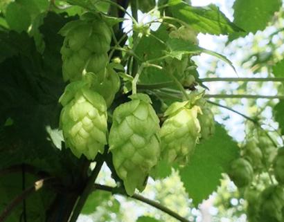 サッポロビールが北海道で開発したホップ「ソラチエース」は今年誕生35周年を迎えた