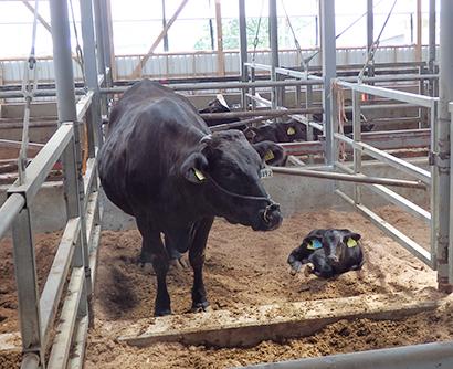 生後間もない子牛と母牛(矢岳牧場)