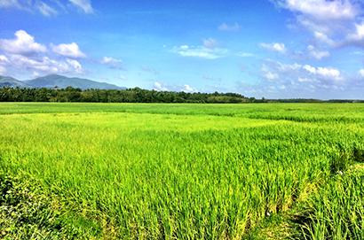 脱農薬が進むタイだが、かつては稲作や野菜・果物栽培に多量の農薬が使われてきた=1月、南部ナラティワート県で小堀晋一写す