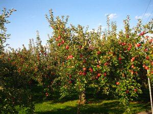 リンゴ加工特集