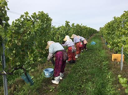 道産ワイン現況:消費者・マーケットへGI制度周知徹底 高まる産地としての注目…