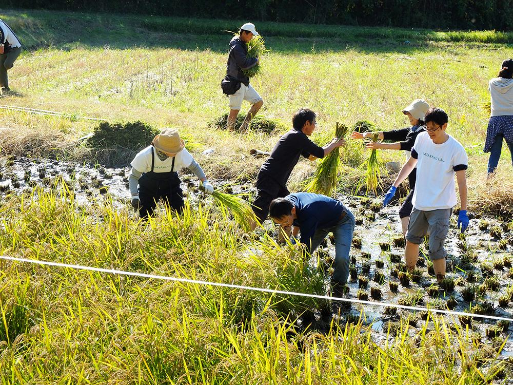農業分野でも障がい者に自信や生きがいを…農福連携圃場で酒米を収穫
