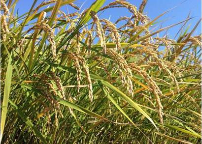 写真(1)=超多収イネは収穫量が増え低コスト化に