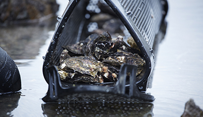 シングルシード式の養殖で、専用のカゴを使用し深みのある殻と肉厚な身を作る