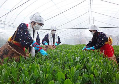 福寿園、宇治で早くも新茶の初摘み