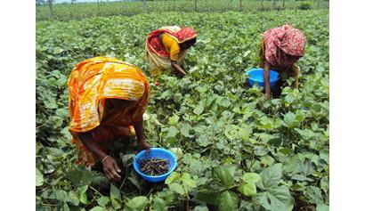 バングラデシュにおける緑豆栽培
