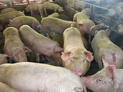 タイの養豚農場。ASFの感染は報告されていない=農業・協同組合省提供