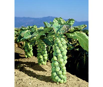 タキイ種苗、映え野菜「芽キャベツ」 生育姿で注目