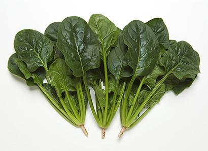 野菜・野菜加工特集:タキイ種苗 ホウレンソウ品種改良 収量・作業性を両立