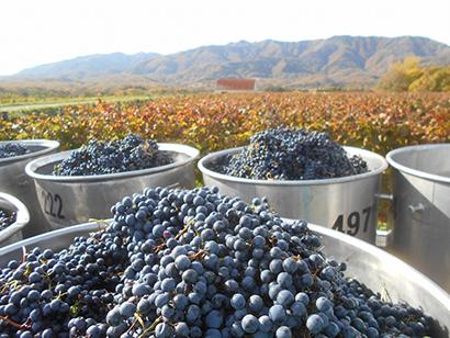 収穫されたブドウ(北海道ワイン提供)