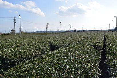 静岡・島田市の茶園