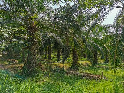 タイのアブラヤシ生産は年々農地を拡張してきた=南部チュムポーン県で、小堀が4月10日写す