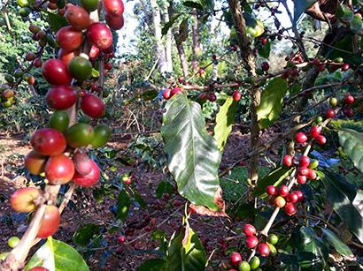 タイ、コーヒー生産・輸出拡大へ