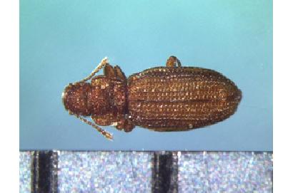成虫 体長1~2mm程度