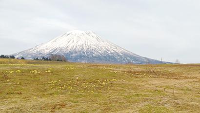 全国緑茶特集:ルピシア 北限で露地栽培を ニセコに茶樹600本植樹