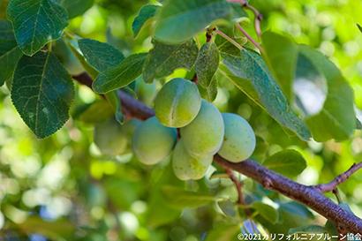 プルーン開花良好、21年収穫量7万5000t見込む カリフォルニアプルーン協…