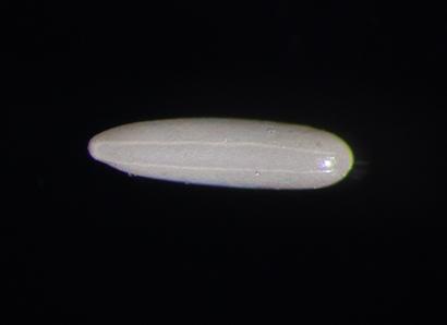 フルカラー工場虫図鑑(16)大型バエ