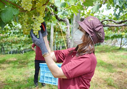 ブドウを収穫する吉雄敬子社長