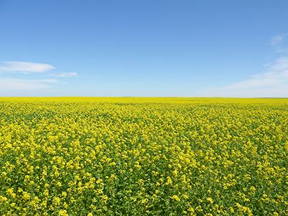 からし特集:原料事情=高値推移続く 今年のカナダ産、収量厳しく